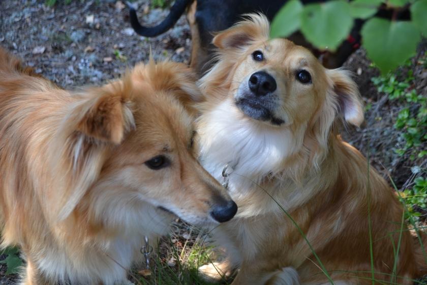 Siitä tulee tänä keväänä ja kesänä kolme vuotta, kun adoptoin koirani. Asuin silloin Espanjan Granadassa. Saman vuoden syksyllä tultiin Suomeen. Vasemmalta Simba ja Hupsu.