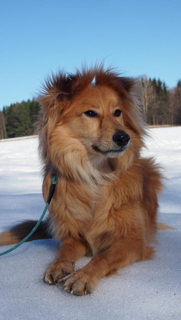 Koira, joka rakastui lumeen.