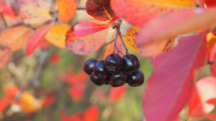 Aronia - tuttu koristepensas monissa pihoissa. Sen marjat jäävät usein hyödyntämättä.