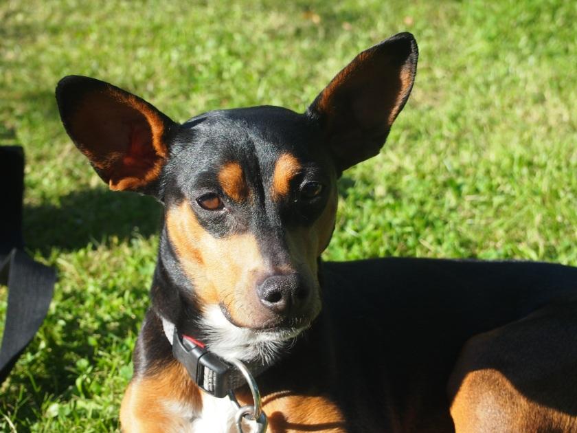 Vivin ja kaikkien koirien viestintä on erilaista kuin meidän ihmisten. Molemmat aiheuttavat meille ihmisille joskus turhia ongelmia.